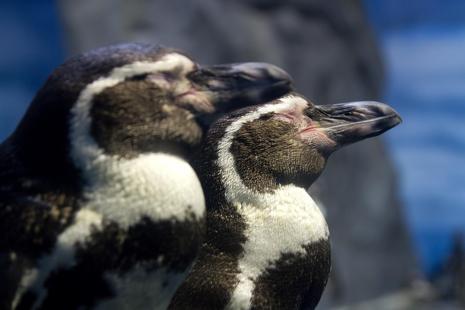 ヒナの方が大きい!?ペンギンのヒナが大きくなるわけとは?